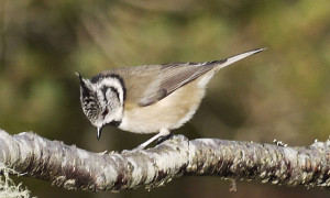 crested tit1