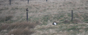 Female Black Grouse on fence post
