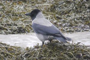 Hooded Crow  Hybrid- Alturlie Inverness