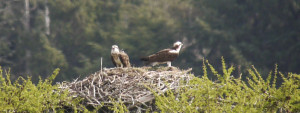 A nice sight, Ospreys on the nest