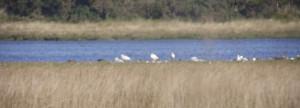 Three Spoonbills (the taller white blobs!)