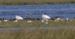 A closer view of the Spoonbill blobs (now two as one had disappeared behind the shingle ridge