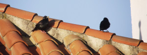 Spotless Starling, typical pose on top of the red tiled roofs.
