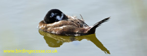 White Headed Duck At Rio Guadalhorce, Malaga September 2013