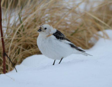 Snow Bunt