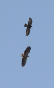 Golden Eagle (Top) and White Tailed Eagle
