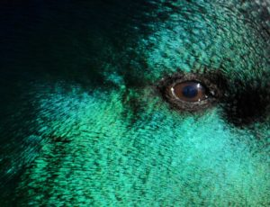 Mallard eye close up