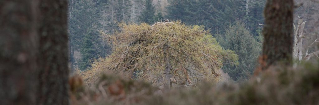 Osprog nest