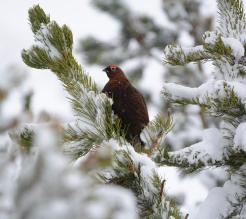 Red Grouse in tree